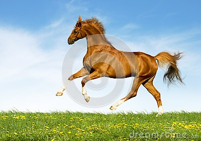 Le cheval de châtaigne galope dans le domaine