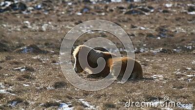 Le cheval islandais brun étendu résiste au vent rugueux banque de vidéos