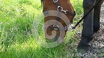 Le cheval mange l'herbe fraîche sur le pré vert, fin