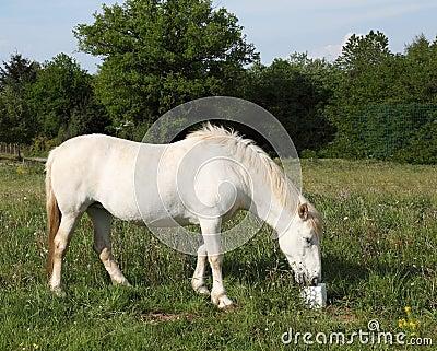 Le cheval mangeant le sel lèchent