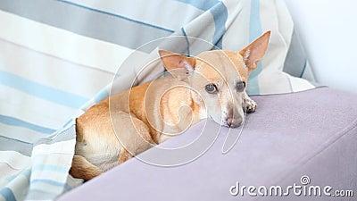 Le chien de chiwawa se trouve sur le sofa Animal familier se reposant à la maison après une promenade Le chien attend le propriét banque de vidéos