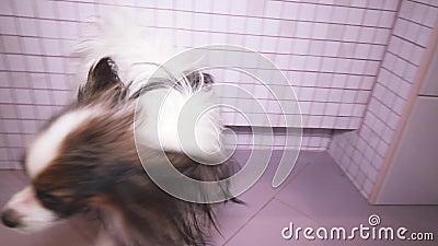 Le chien de Papillon est brushing après s'être baigné dans la vidéo de longueur d'actions de salle de bains banque de vidéos