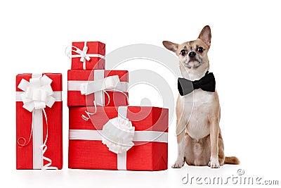 Le chienchien jaune pâle se repose près des cadeaux