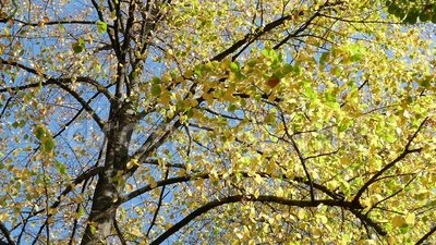 Le feuillage jaune d'un arbre d'automne banque de vidéos