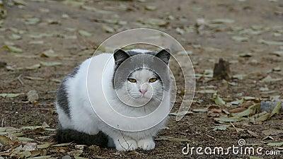 le gros chat gris blanc se repose sur la fin d 39 herbe s che vers le haut du froid clips vid os. Black Bedroom Furniture Sets. Home Design Ideas
