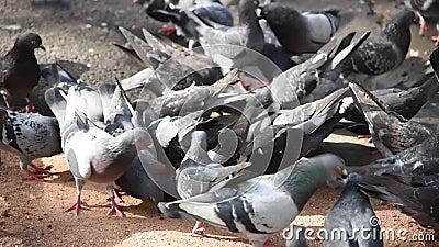 Le groupe de pigeons affamés se nourrit au sol en gros banque de vidéos