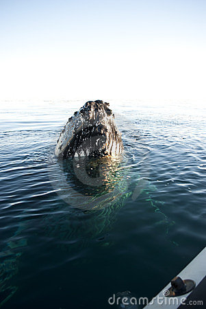 Le head-1 de baleine de bosse.