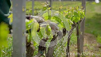 Le jardinier sélectionne outre des feuilles des arbustes de raisin sur la plantation dans le jour ensoleillé, le plan rapproché d banque de vidéos