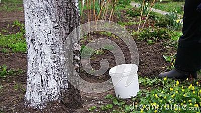 Le jardinier Whitewash Tree Trunk avec la craie dans le jardin, arbre s'inquiètent au printemps banque de vidéos