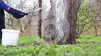 Le jardinier Whitewash Tree Trunk avec la craie dans le jardin, arbre s'inquiètent au printemps clips vidéos