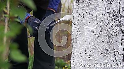 Le jardinier Whitewash Tree Trunk avec la craie dans le jardin, arbre s'inquiètent au printemps Mouvement lent clips vidéos