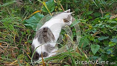 Le jeune chat tigré blanc-gris marche dans l'herbe verte Le chat domestique chasse sur le lâche Le chat se repose dans la haute clips vidéos