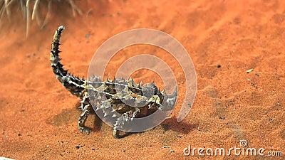 Le lézard de dragon épineux mange une fourmi banque de vidéos