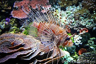 Le lionfish rouge