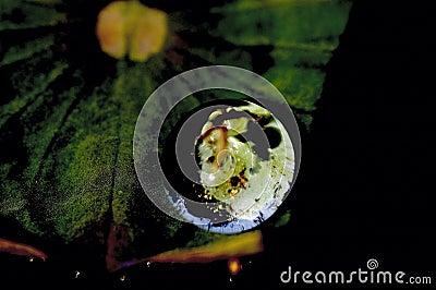 Le lotus laisse le globe no2