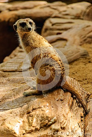 Le meerkat de la nature