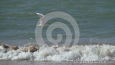 Le mouette décolle et atterrit contre les vagues de mousse banque de vidéos