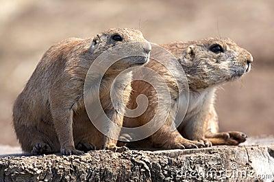 Le noir a suivi la marmotte de prairie