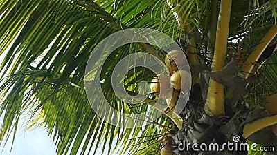 Le palme verdi tropicali, colpo della pentola, zummano stock footage