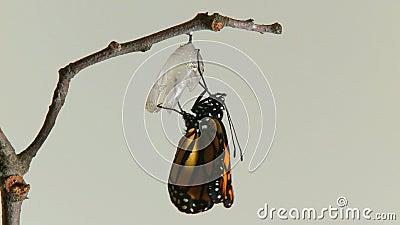 le papillon de monarque émerge chry