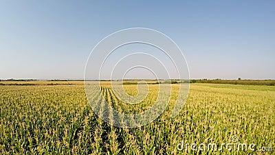 Le paysage aérien du maïs cultive lentement le déplacement à la vue de côté gauche et du champ Enregistré dans 4k banque de vidéos