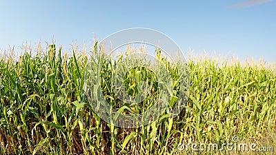 Le paysage aérien du maïs cultive lentement l'avancement à la bonne, vue de côté du champ, se déplaçant au-dessus de la route de  banque de vidéos