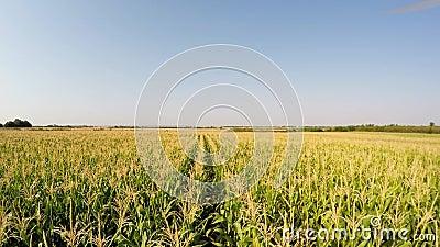 Le paysage aérien du maïs cultive lentement l'avancement en avant entre les lignes de maïs, vue de face Enregistré dans 4k clips vidéos