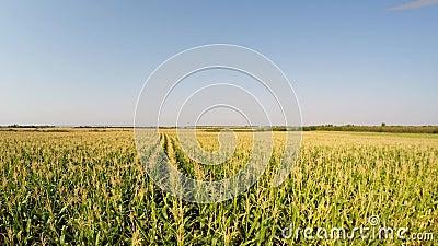 Le paysage aérien du maïs cultive lentement la descente à la vue de côté du champ Enregistré dans 4k banque de vidéos