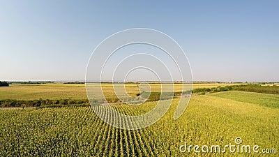 Le paysage aérien du maïs cultive monter lentement, vue de face régulière et Enregistré dans 4k banque de vidéos