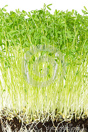 Free Le Puy Green Lentil Seedlings Front View Stock Photography - 98624262