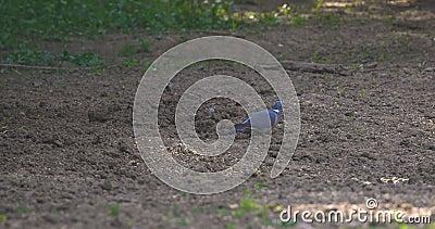 Le ramier commun est de grandes esp?ces dans la famille de colombe et de pigeon banque de vidéos