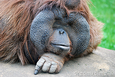 Le regard fixe de l orang-outan
