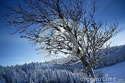 Le soleil de l hiver derrière des brenches