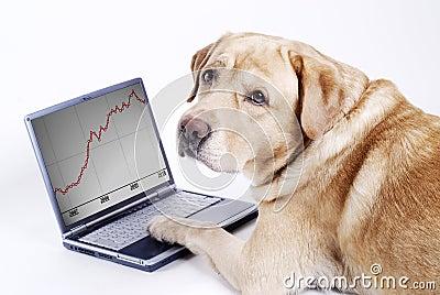 Le travail de Labrador de crabot sur l ordinateur