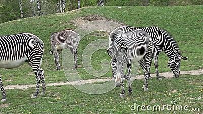 Le troupeau de z?bre mangeait le grevyi d'Equus d'herbe banque de vidéos