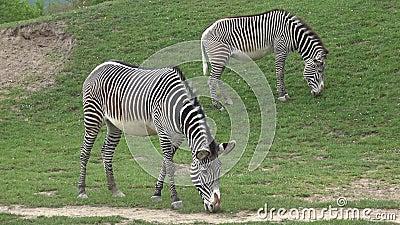 Le troupeau de z?bre mangeait le grevyi d'Equus d'herbe clips vidéos