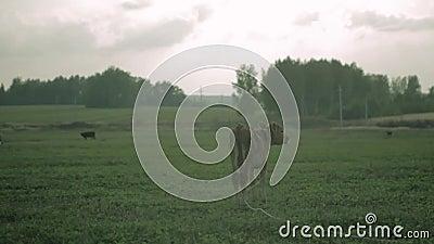 Le veau de vache se tient sur le pré avant la pluie clips vidéos