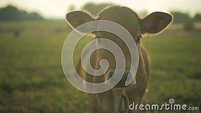 Le veau regarde l'appareil-photo Ferme de vache pendant le matin banque de vidéos