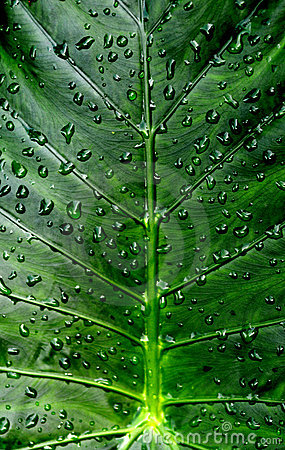 Le zantedeschia laisse des waterdrops