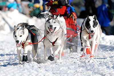Lead Sled Dogs
