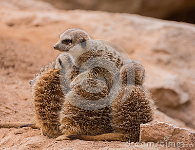 Leader of meerkats