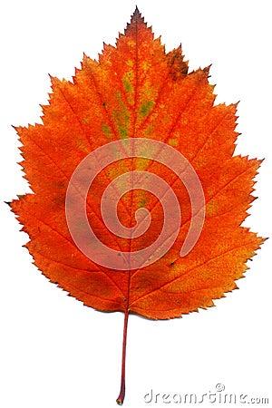 Free Leaf Stock Photo - 5730