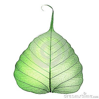 Free Leaf Royalty Free Stock Image - 13172036
