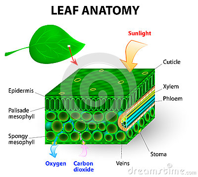 leaf anatomy vector diagram photosynthesis chlorophyll molecule leaves uses energy sunlight to turn water 34168343