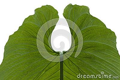 Leaf av anthuriumen