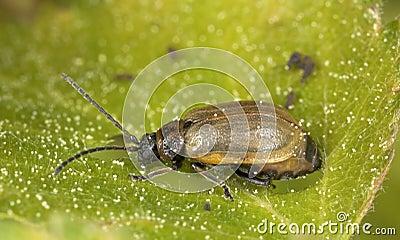 Leaf beetle (Chrysomelidae) sitting on leaf