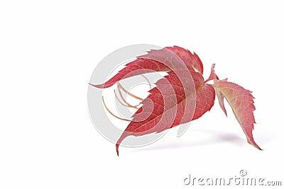 Leaf of bindweed