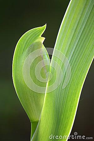Leaf and Bud of a Iris Flower