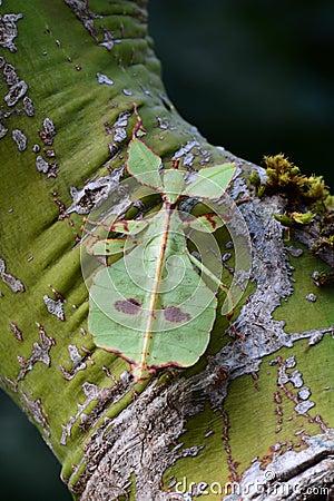 Free Leaf Bug Aka Phyllium Celebicum Royalty Free Stock Images - 86199099