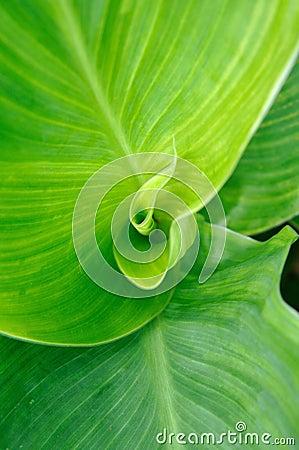 Leaf of cannaceae